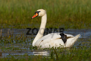 Mute swan floating on wetland in green spring nature