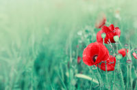 Poppy flowers isolated on green blur background.