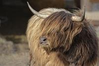 scottish highland cattle 2