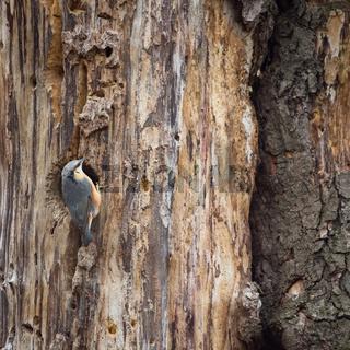 nuthatch bird on a tree trunk