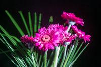 Beautiful magenta Gerbera flowers