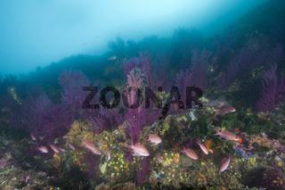 Riff mit farbwechselnden Gorgonien