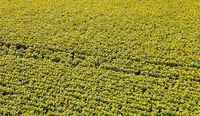 blühendes Sonnenblumenfeld aus der luft