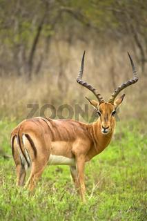 Impala, Kruger National Park, South Africa