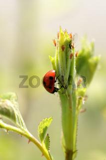 Marienkäfer, Blattläuse