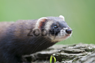 Europäischer Iltis ,Mustela putorius, European Polecat
