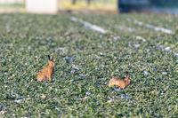 European hares (Lepus europaeus)