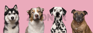 Portraits of various dogs looking at the camera on a pink background