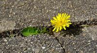 dandelion,  lion's-tooth,  grows between concrete slabs