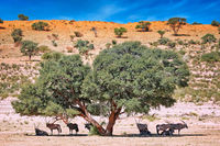 Oryx searching for some shadow, Kgalagadi Transfrontier National Park, South Africa