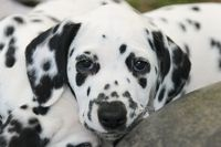 Dalmatian puppy, seven weeks old, portrait