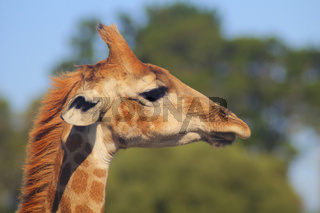Giraffe - Portrait - Side View