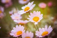 Bright summer background with pink daisies. Spring or summer nature scene with blooming pink daisies in sun glare. Soft focus.