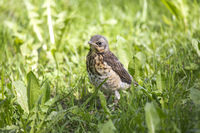chick(Turdus pilaris) on green grass