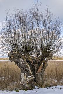 Ruegen im Winter - Weidenbaum