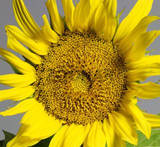 sunflower in grey back