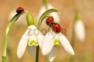 Marienkäfer auf Schneeglöckchen