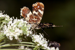Landkärtchen, Araschnia levana, Map Butterfly