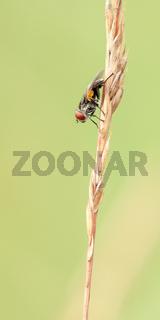 Raupenfliege, fly(Rhinophoridae)