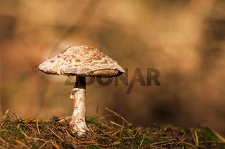 Parasolpilz, parasol mushroom (Macrolepiota procera)