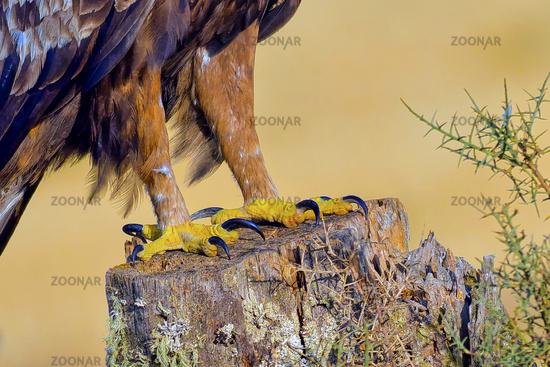 Golden Eagle Claws, Mediterranean Forest, Spain