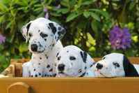 Three Dalmatian puppies, five weeks old