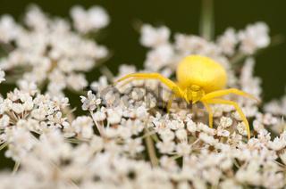 Veränderliche Krabbenspinne, Crab spider (Misumena vatia)