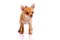 Puppy Chihuhahua Frontal