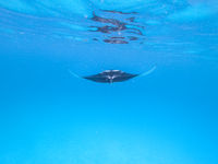 Giant oceanic manta ray, Manta Birostris ,hovering in blue ocean on Maldives islands