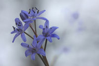 Two-leaf squill (Scilla bifolia)