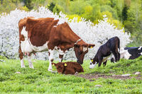 Dairy cow licking her young calf on a meadow in a beautiful spring landscape
