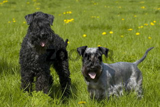 Chesky Kerry Blue Terrier