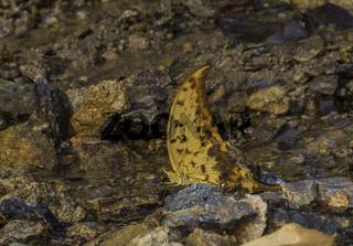 Yellow Gorgon butterfly, Meandrusa payeni, Garo Hills, Meghalaya, India