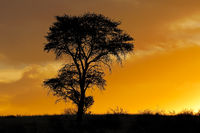 Sunset with silhouetted African thorn tree and clouds