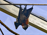 Indian flying fox hanging upside down