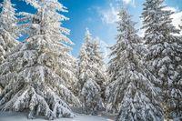 Majestic white spruces trees glowing by sunlight agains dark blue sky. Gorgeous winter scene. Location place Czech republic, Krkonose.