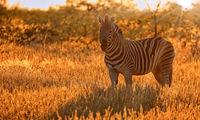 Plains Zebra with sunrise. Etosha NP, Namibia