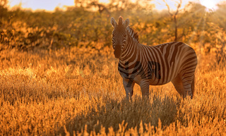 Zebra im Sonnenaufgang, Steppenzebra, Etosha, Namibia | Plains Zebra with sunrise. Etosha NP, Namibia