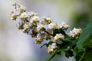 Blühende Kastanienkerze im Frühling