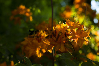Rhododendron,