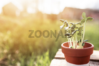 Gardening concept, vegetable seedlings in ceramic pot on the old wooden table