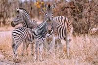 Zebras, South Africa, Plains Zebra, Equus quagga