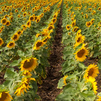 Rows of sunflowers.