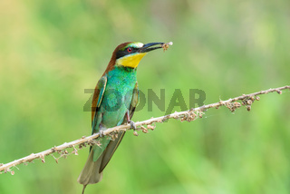 Bee-eater eating an insect