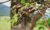 Many cockchafers or may bugs eating on a almost leafless apple tree, Austria, Europe