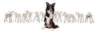 Border collie sheepdog sitting in front of twelve little lambs