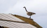 Canada Goose on Barn