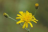 Hawkweed (Hieracium)
