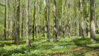 Deister - Buchenwald mit Bärlauch-Blütenteppich, Allium ursinum, Niedersachsen, Deutschland, Europa