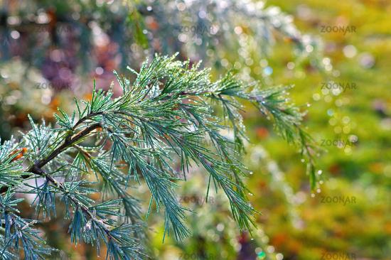 Zweig einer Himalaya-Zeder mit Tautropfen - branch of a Himalayan cedar tree with drops of dew